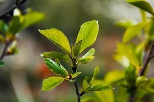 folhas novas das árvores