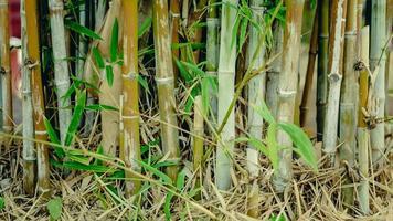 árvore de bambu verde em um jardim de fundo natural.