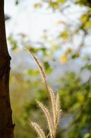 grama florescendo na montanha
