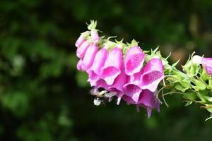 abelha se aproxima da flor roxa selvagem na floresta escandinava foto