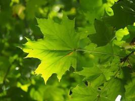 folhas de um bordo