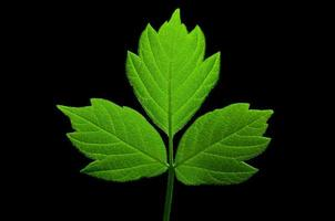 Folha verde foto