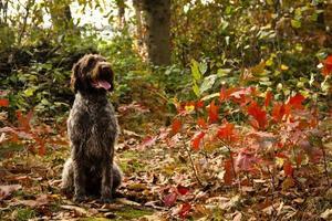 korthals griffon sentado em uma paisagem de outono
