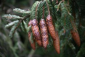cones de abeto