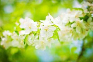 árvore em flor