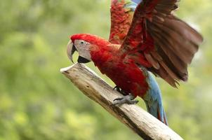 pássaro bonito arara foto