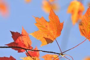 folhas de bordo de outono foto