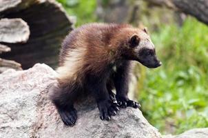 Wolverine foto