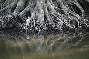 raízes de árvore na margem de um lago