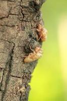 casca de cigarra na árvore foto