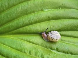 caracol na folha verde de hosta