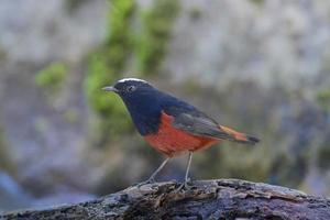 nome do pássaro redstart água de capa branca foto
