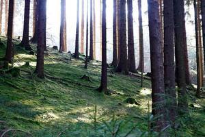 sol brilhando no fundo musgoso de uma floresta