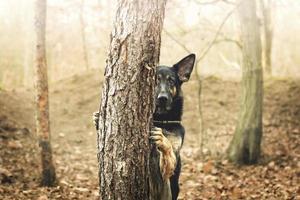 lindo cão pastor alemão truque de cachorrinho na floresta foto