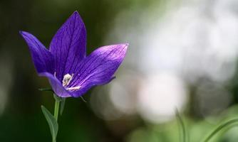 bela flor violeta com luz do sol
