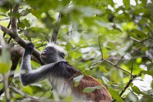 Macaco Colobus Vermelho Zanzibar ameaçado de extinção (procolobus kirkii), joza