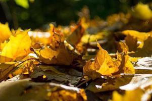 folhas de bordo dourado no chão
