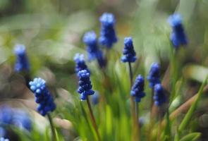 flores de jacinto murino foto