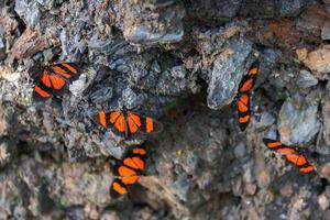 lindas borboletas laranja, encontradas nas florestas nebulosas do peru.