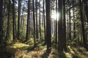 sol brilhando entre os troncos das árvores em uma floresta foto