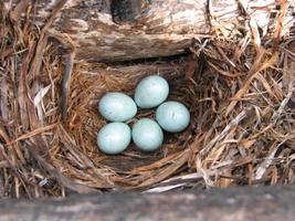 ovos de pássaros foto
