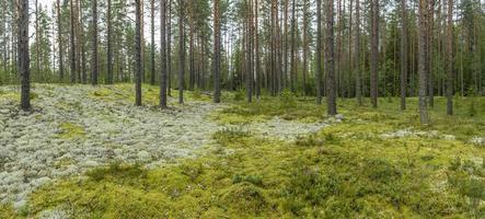 panorama da floresta de coníferas com musgo colorido e líquen.