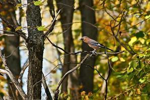 Jay em um galho de árvore na floresta de verão. foto