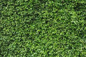 parede de folhas verdes foto