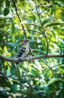pássaro poupa na árvore, upupa epops foto