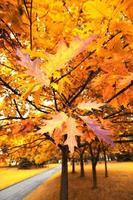 árvore de bordo no outono