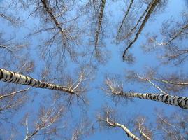 floresta de bétulas no inverno, vista de baixo para cima
