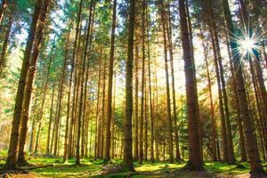 floresta de pinheiros com o último sol brilhando