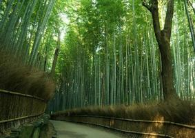 forrest de bambu foto