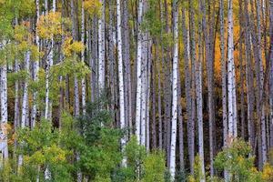 árvores de álamo tremedor branco no outono