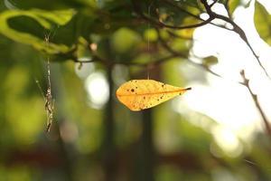 folha seca na teia de aranha foto
