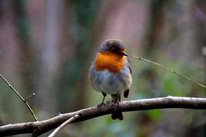 o pássaro tanager escarlate