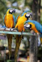 araras coloridas foto