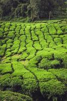 plantação de chá cameron highlands, malásia foto