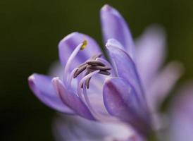flor roxa no jardim em macro