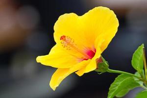 Flor de hibisco foto