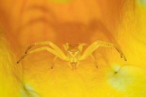 aranha caranguejo amarela em uma flor foto