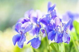 fragrância de violeta foto