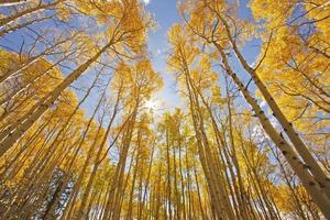 árvores de aspen com cor de outono, floresta nacional de san juan, colorado foto