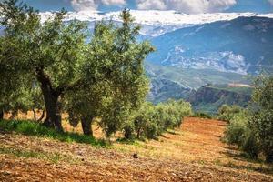 lindo vale com velhas oliveiras em granada, espanha foto
