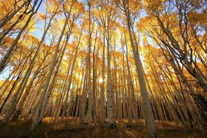 árvores de aspen com cor de outono, floresta nacional de san juan, colorado