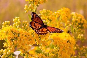 borboleta monarca foto
