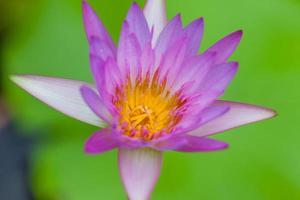 flor de lótus roxa, tailândia