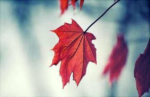 folha vermelha de outono foto