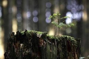 mini-abeto no toco de árvore