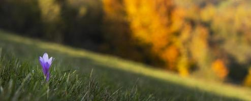 lindo açafrão selvagem, colchicum autumnale, flores em uma floresta de montanha foto